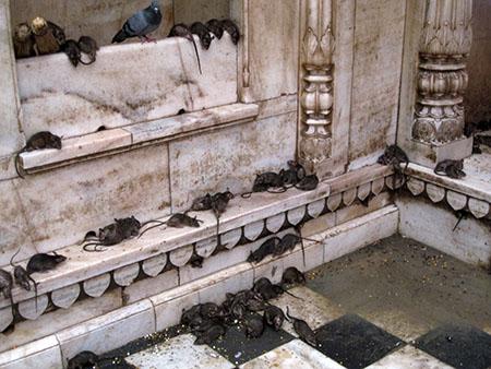 Karni Mata, tempio dei Topi Sacri