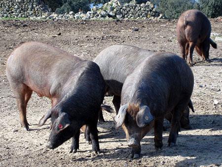 Spagna, Extremadura, cerdos ibericos