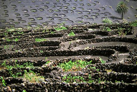 Lanzarote, Vite coltivata nel terreno vulcanico