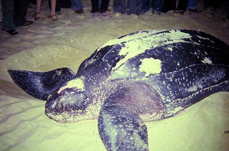 Leather Turtle
