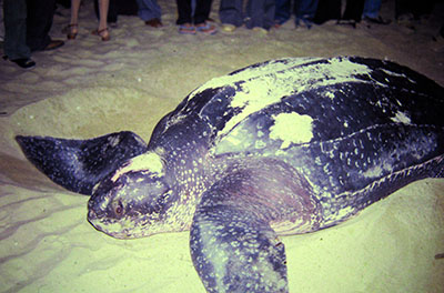 Una Leaverback Turtle....