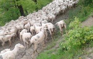 pecore-2014